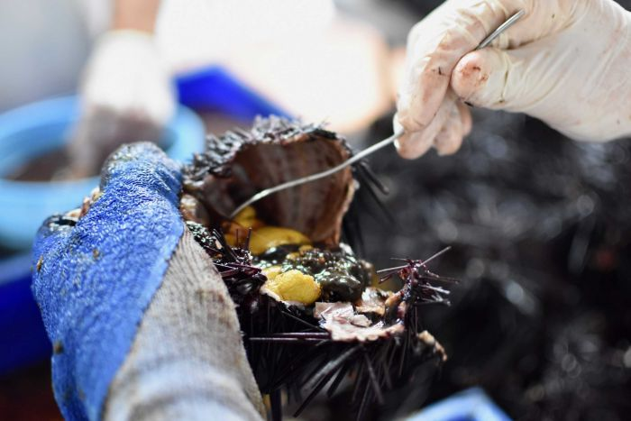 Gloved hands open up a sea urchin and poke the meat inside