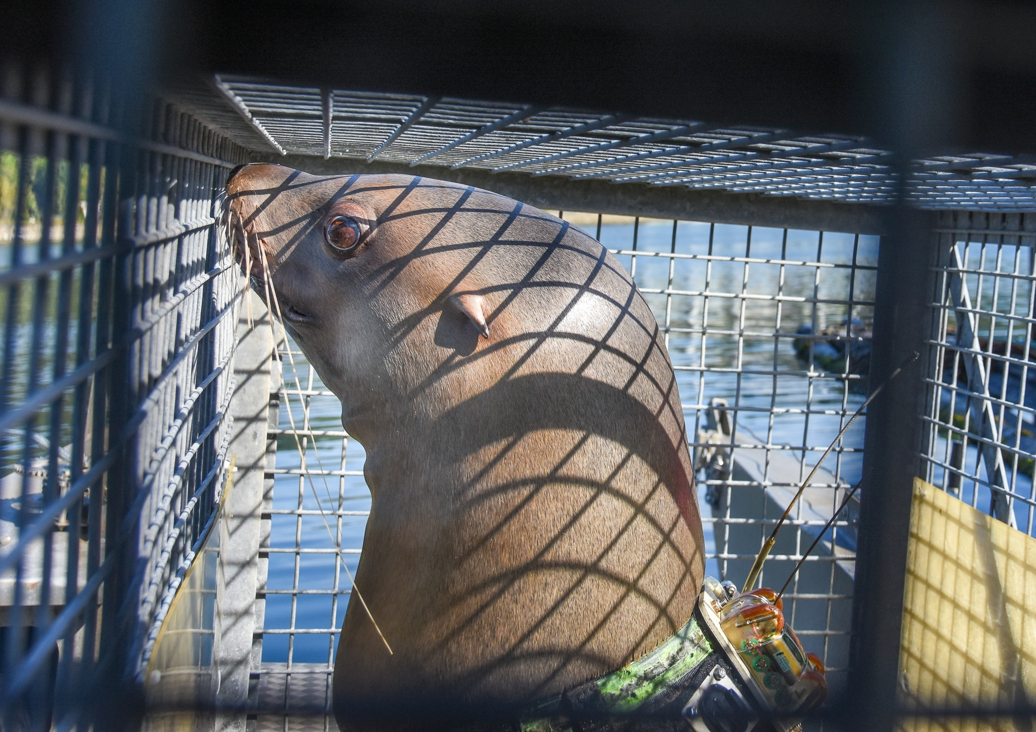 After 16 years at the research station, the four Steller sea lions will be transferred back in to ca