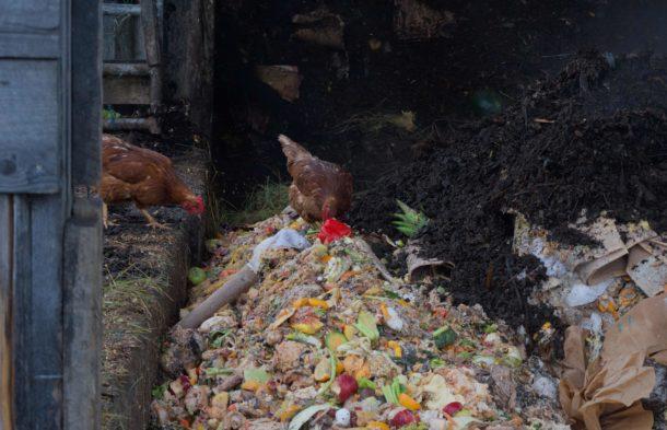 Chickens eat food scraps
